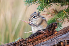 September 7, 2019 - A chipmunk fattens up for winter. (Tony's Takes)