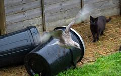 Flying Off (Mandy Willard) Tags: 365 1408 cat ben black gull chick