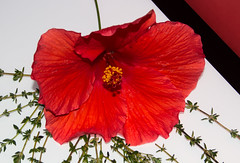 Hibiscus (Ellsasha) Tags: hibiscus flower flowers red reds