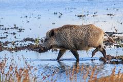 der Keiler vom Darsser Ort 2 (cfowallburg) Tags: prerow wildschwein darss hirschbrunft2019 susscrofa