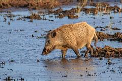 der Keiler vom Darsser Ort 1 (cfowallburg) Tags: prerow wildschwein darss hirschbrunft2019 susscrofa