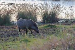 Willdschwein beim Grasen (cfowallburg) Tags: prerow wildschwein darss hirschbrunft2019 susscrofa
