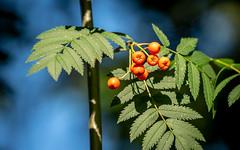 Rowan (Mandy Willard) Tags: 365 1808 rowan berries leaves tree