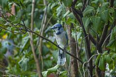 bluejay stare (Lou Musacchio) Tags: bluejay nature feeding urbanbackyard
