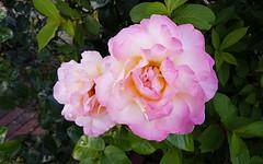 Rose (Mandy Willard) Tags: 365 1908 rose flower pink
