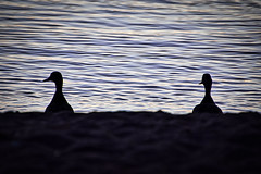 And then it dawned on them... (KWPashuk (Thanks for >3M views)) Tags: nikon d7200 tamron tamron18400mm lightroom luminar luminar2018 luminar3 luminar31 kwpashuk kevinpashuk ducks birds silhouette morning dawn water waterfowl nature outdoors ripples bronte beach park oakville ontario canada