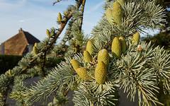 Pine Cones (Mandy Willard) Tags: 365 2108 pine cones tree roof house