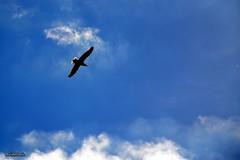 Libre , para bien o , para mal pero , libre. (AviAntonio) Tags: gavina blau cel núvols llibertat gaviota azul cielo nubes libertad catalunya