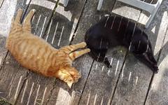 Brothers (Mandy Willard) Tags: 365 2408 cats black ginger leo ben shadows