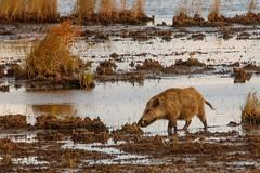 Wildschwein Keiler im  Morgenlicht (cfowallburg) Tags: prerow wildschwein darss hirschbrunft2019 susscrofa