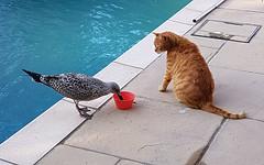 The Chick and Leo (Mandy Willard) Tags: 365 2608 gull bird cat leo ginger pool