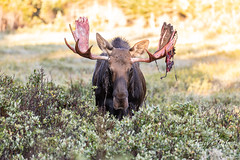 September 8, 2019 - Head on with a moose bull. (Tony's Takes)