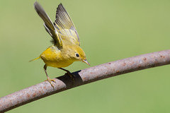 Ready to jump ... Yellow Warbler (X91_1840-1) (Eric SF) Tags: yellowwarbler warbler ardenwoodhistoricfarm fremont ca