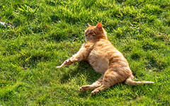 And Stretch (Mandy Willard) Tags: 365 0409 leo cat ginger