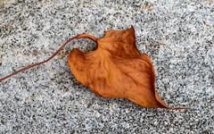 Stone and Leaf (Mandy Willard) Tags: 365 0609 stone leaf