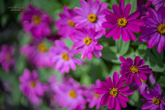 pink beauties (mariola aga) Tags: garden plants flowers closeup lensbaby edge80 bokeh manual distortion nature coth alittlebeauty coth5 sunrays5 natureinfocusgroup