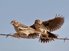September 5, 2019 - Birds jockey for a perch. (Bill Hutchinson)