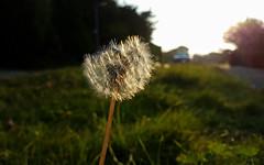 Dandelion (Mandy Willard) Tags: 365 2708 dandelion road