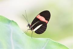 Heliconius erato (fabriciodo2) Tags: heliconiuserato heliconius papillon mariposa macro butterfly