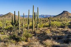 Saguaros in the desert (doveoggi) Tags: 0924 arizona scottsdale desert saguaros mountains