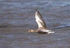 Greylag in flight (themadbirdlady) Tags: anseriformes anatidae anseranser greylaggoose blacknessnt0580