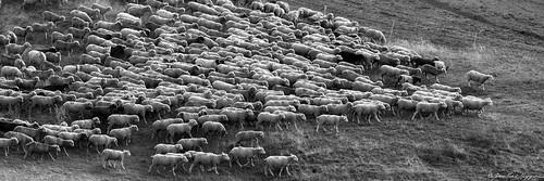 Moutons redescendant pour la nuit