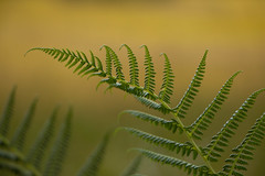Délicate fougère (Gisou68Fr) Tags: fougère fera bokeh green vert yellow jaune tourbière machais vosges france grandest