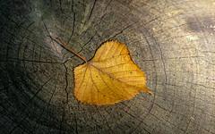 Autumn on the Way (Mandy Willard) Tags: 365 0709 leaf log wood