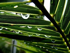 Palm umbrella.....Macro shot taken from under the palm right after the rain. Love it how you can see the surrounding trees in the drops. The diffusion of the lines from the palm leaves in the drops makes for an alluring scene !! (gilberteplessers) Tags: