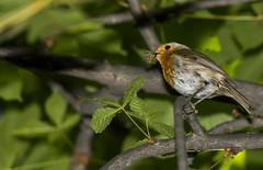 robin (madziulka_a) Tags: robin nikon nikkor 200500mm poland wildlife nature bird rudzik photography d850
