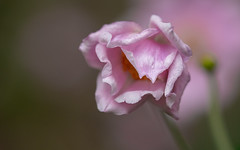 Japanese Anemone (Mandy Willard) Tags: 365 1109 japaneseanemone flower pink
