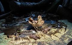 Decay (Mandy Willard) Tags: 365 0309 log leaf