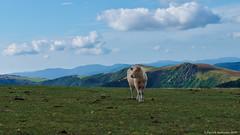 """La """"Belle"""" des Hautes Vosges. (Patabois) Tags: montagne vache prairie hautes vosges"""