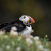 Still so many puffins on my hard drive