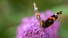Feeding (Mandy Willard) Tags: 365 1009 butterfly budliah redadmiral 2019th18