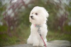 I am Princess... (KissThePixel) Tags: family pet love animal lensbaby nikon bokeh september malteseterrier maltese twisty twistybokeh nikondf lensbabytwist60 lensbabytwist white whitedog woodland woodlandwalk 60mm f25
