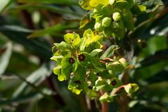 Euphorbia (suffolk rachael) Tags: dalham euphorbia places plants suffolk uk