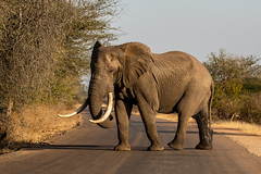 elephant - Kruger NP - South Africa (bart coessens) Tags: animals animal mammal mammals elephant olifant wildlife wild game gameviewing gamedrive herbivore safari sanp sanparks south africa african national parks southern kruger park limpopo middelvlei waterhole nikon d500 nature krugernationalpark southafrica southafricannationalparks southernafrica nikond500
