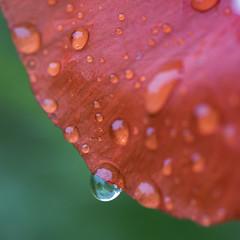 (Trop) gentil coq'licot* (PhlippeC.) Tags: coquelicot poppy red rouge green vert eau gouttes fleur square carré nature 100mm macro