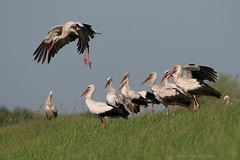 White storks (Grefer) Tags: whitestork nature wildlife poland nikkor300mmf4afs nikond300s spring