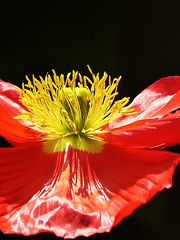 Poppy in the sunlight ((Sue Lockhart Images)) Tags: poppy red yellow anthers pollen astract inexplore ngysaex