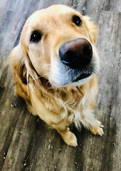 week 37 : MY BEST FRIEND (EirenaRothwell) Tags: week372019 startingtuesdayseptember102019 52weeksthe2019edition dog dogs goldenretriever golden bestfriend mansbestfriend