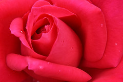 Miss All-American Beauty Rose (Zircon_215) Tags: missallamericanbeautyrose rose rosemariacallas hybridtearose red marieloisemeilland 1965