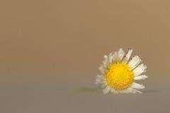 Une fleur en pleurs (CécileAF) Tags: canon flowers dreamy droplets dew poetic emotion macro