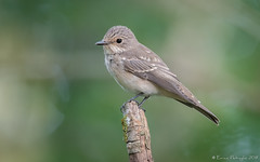 Gobemouche gris (DorianHunt) Tags: birds bokeh spottedflycatcher switzerland september 2019 nikond500 sigma 150600mm