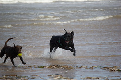Playing in the sea (alasdair massie) Tags: labrador sand beach dog black coco vizsla sea norfolk seaside scarpa wellsnextthesea england unitedkingdom