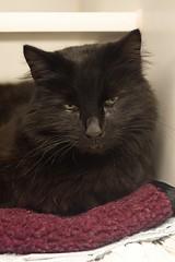 Mugwort 0001 (Phil Rose) Tags: cats whatcomehumanesociety fauna feline whs cat