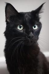Rafael Salano 0008 (Phil Rose) Tags: cats whatcomehumanesociety fauna feline whs cat