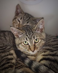 Flannel and Flip 0016 (Phil Rose) Tags: cats whatcomehumanesociety fauna feline whs cat