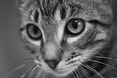 Kiko 0022 (Phil Rose) Tags: cats whatcomehumanesociety fauna feline whs cat